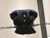 crow104