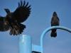 crow57