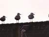 seagullrow