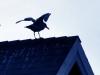 seagullrow2